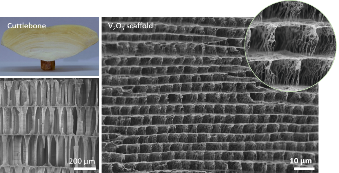 Microscopic structure of natural and artificial (V2O5 scaffold) cuttlebone