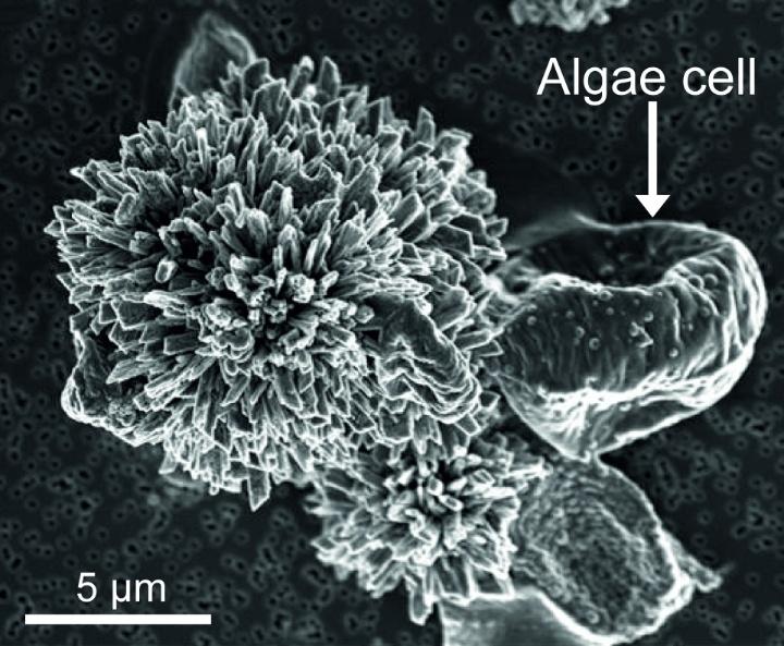 Algae. Material sythesis with living algea (Scenedesmus obliquus). (c) Giulia Santomauro